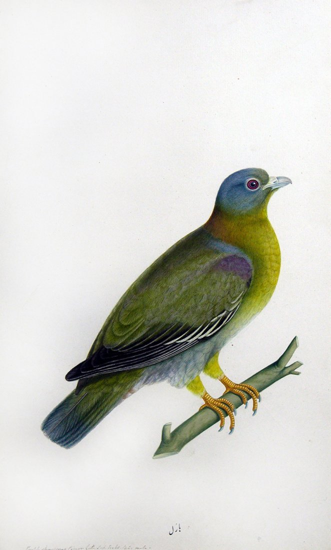 Yellow-footed Green Pigeon (Treron phoenicoptera), Male