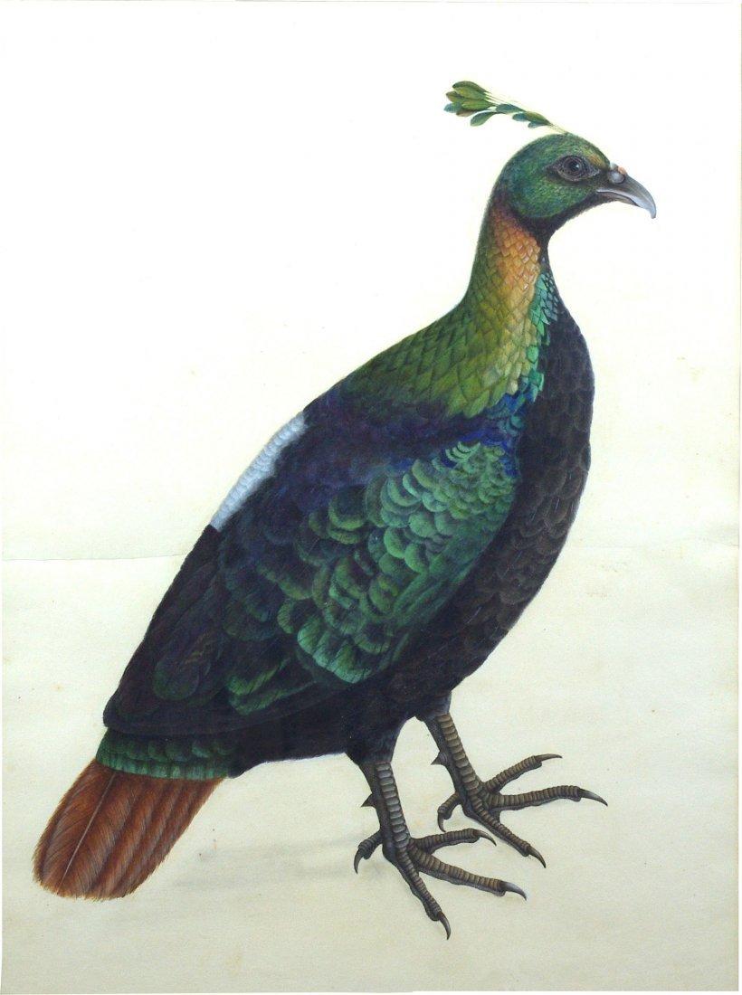 A Himalayan Monal (Impeyen Pheasant)