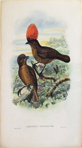 Amblyornis Subalaris