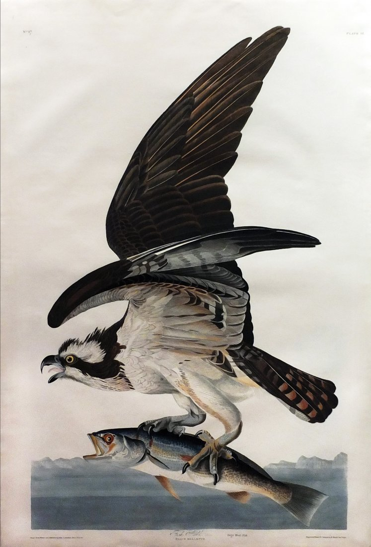 Fishhawk (Osprey), Plate 81