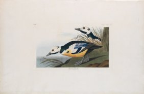 Audubon Aquatint by Havell, Western Duck