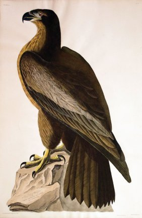 Audubon Aquatint By Havell, Bird Of Washington