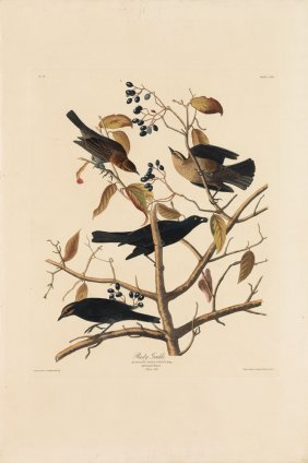 Audubon Aquatint By Havell, Rusty Grackle