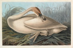 Audubon Aquatint by Havell, Trumpeter Swan, Young
