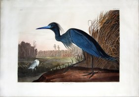 Audubon Aquatint by Havell, Blue Crane or Heron