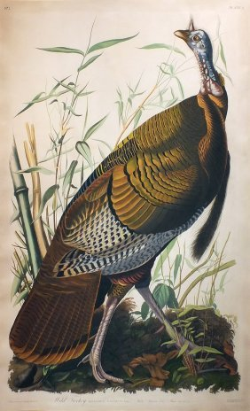 Audubon Aquatint by Havell, Wild Turkey, Male