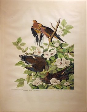 Audubon Aquatint by Havell, Turtle Dove