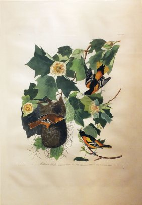 Audubon Aquatint by Havell, Baltimore Oriole