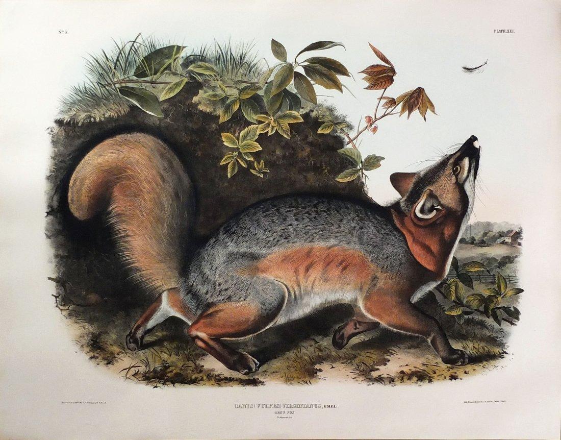 Audubon Lithographs, Imperial Folio, Grey Fox