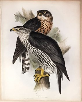 Gould Goshawk Hand-colored Lithograph