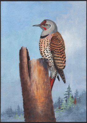 Steffen Watercolor Of Red-shafted Flicker