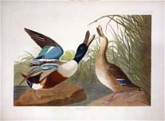 Audubon Aquatint, Shoveler Duck, Plate 327