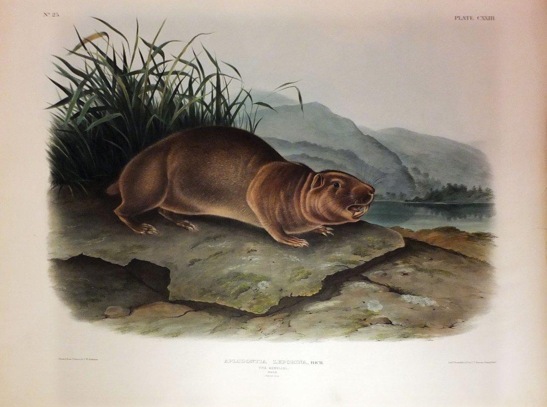 Audubon Lithographs, Imperial Folio, Sewellel Male