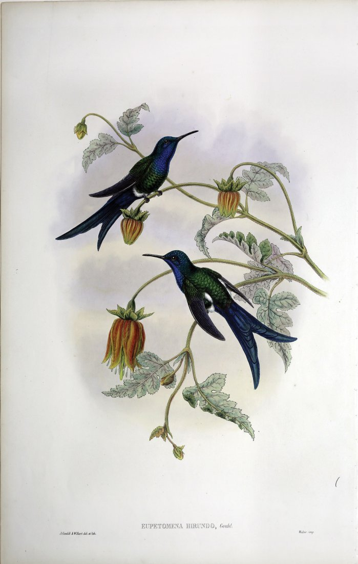 Beautiful Hand Colored Lithographs of Hummingbirds by