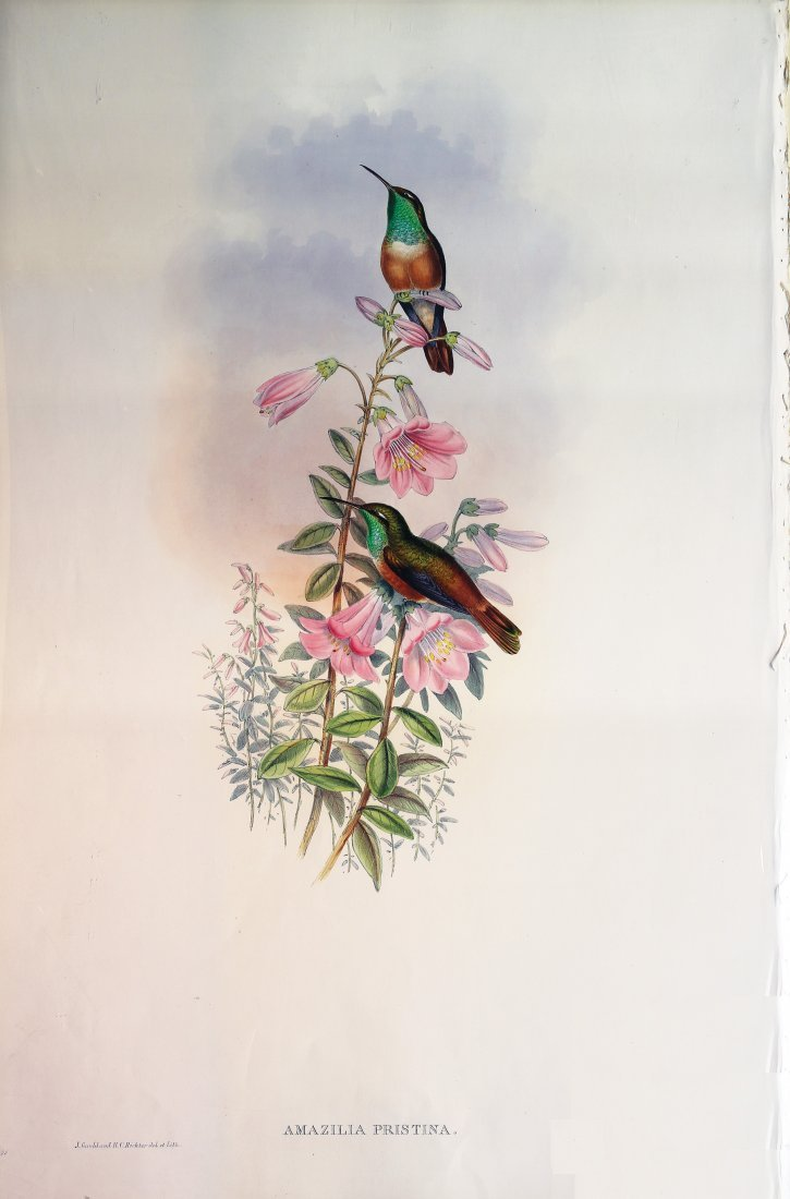 Beautiful Lithographs of Hummingbirds by Gould