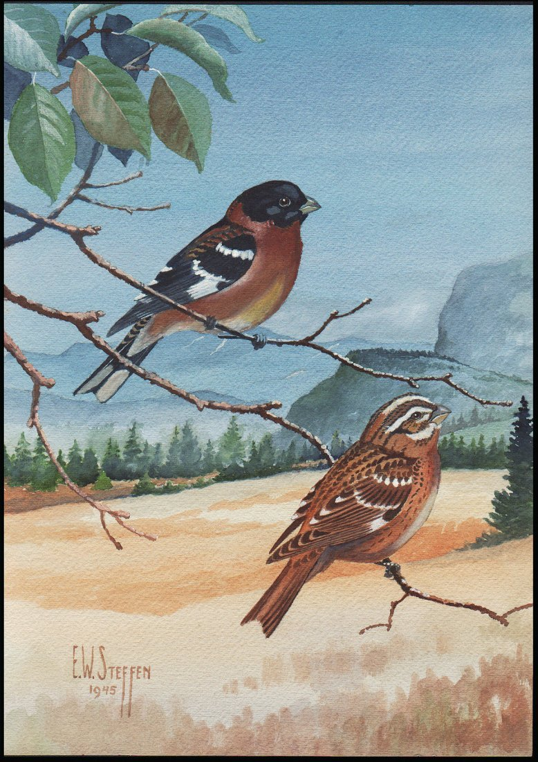 Steffen Watercolor of Black-Headed Grosbeak