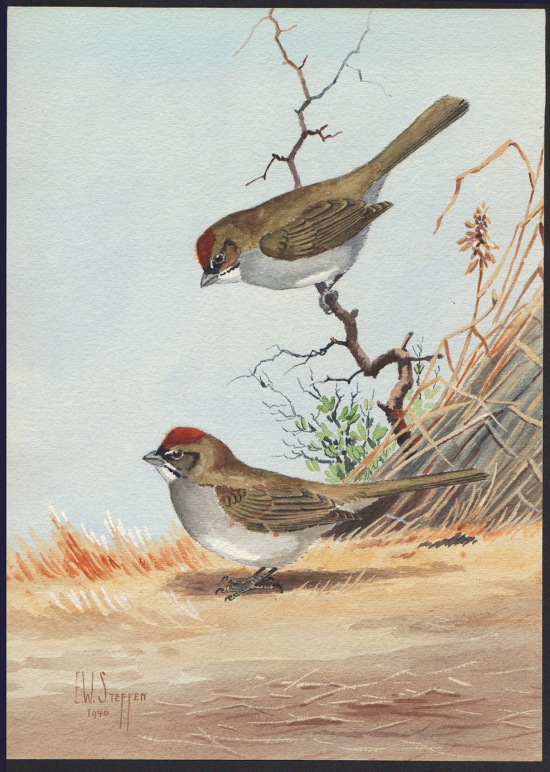 Steffen Watercolor of Green-tailed Towhee