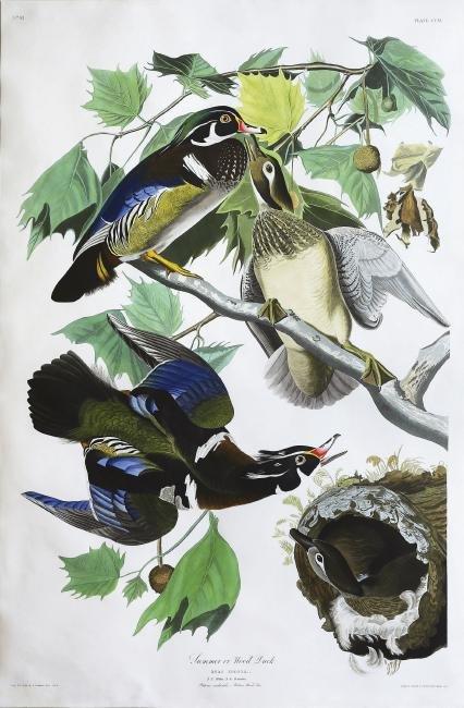 Audubon Aquatint Engraving, Summer, or Wood Duck