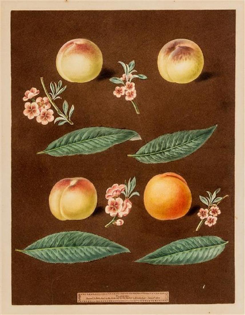 [BOTANICAL]. Brookshaw, George (1751-1823)
