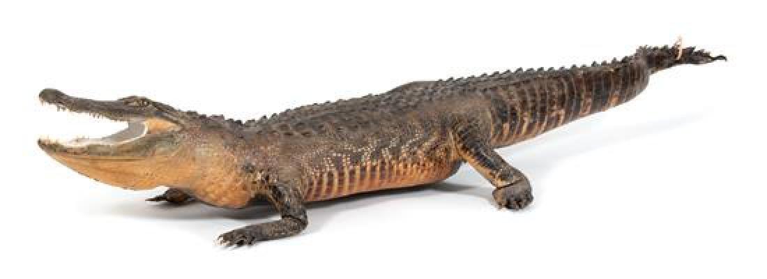 A Taxidermy Alligator