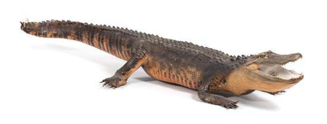 A Taxidermy Alligator - 3
