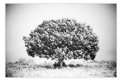 Brian Cattelle, (American) Utah Tree Study 01