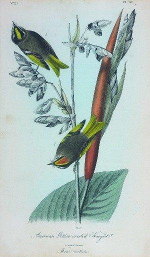 1557: After John James Audubon,, (American, 1785-1851),