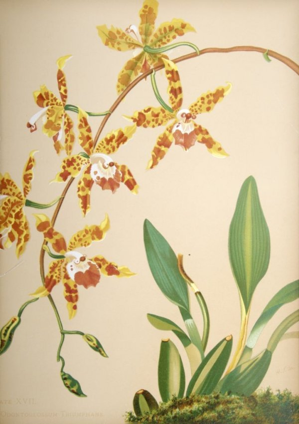 12: (BOTANY) MINER, HARRIET. Orchids: The Royal Family