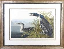 After J. J. Audubon, Great Northern Diver or Loon, Heig