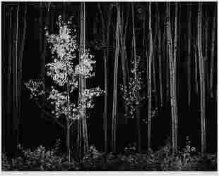 Ansel Adams (American, 1902-1984) Aspens, Northern New
