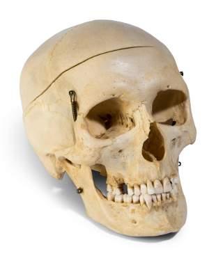 A European Medical Instruction Human Skull
