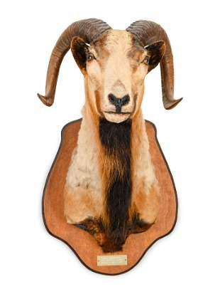 A Taxidermy Ram Shoulder Mount