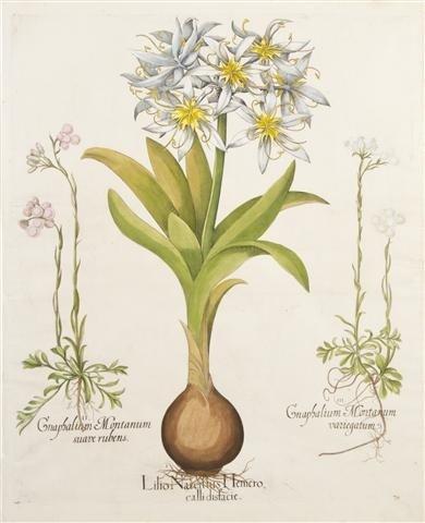 1: BESLER, BASILIUS. Lilio Narcissus Hemero, calli disf