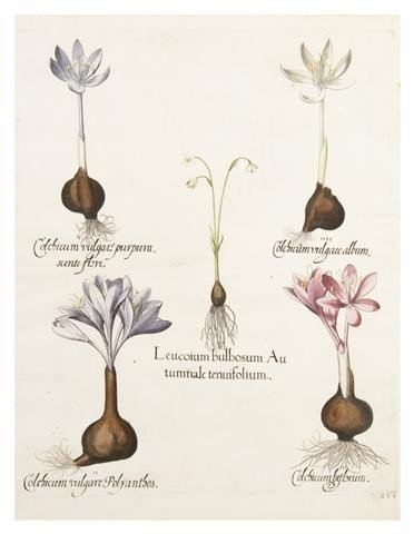 3: BESLER, BASILIUS. Leucoium bulbosum Autumnale. (Eich