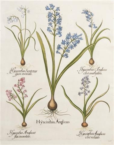 4: BESLER, BASILIUS. Hyacinthus Anglicus. (Eichstat Nur