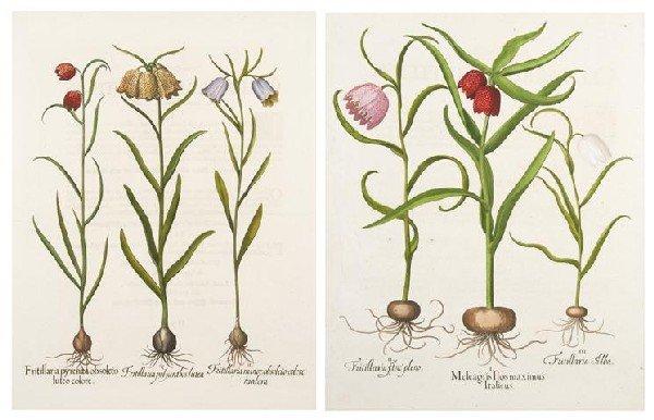 5: BESLER, BASILIUS. Fritillaria pyrenaa and Meleagris
