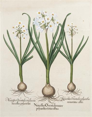 6: BESLER, BASILIUS. Narcissus orientalis maior polyant