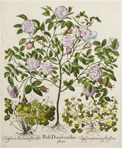 7: BESLER, BASILIUS. Rosa Damascena flore pleno. (Eichs