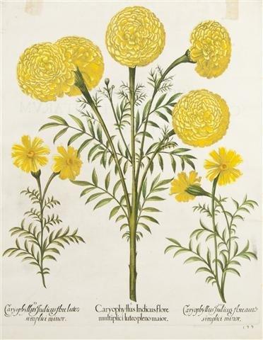 8: BESLER, BASILIUS. Caryophyllus Indicus flore...pleno