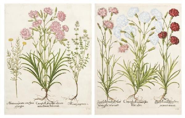9: BESLER, BASILIUS. 2 engraved botanical plates from H