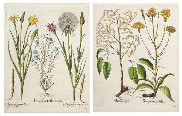 10: BESLER, BASILIUS. 4 engraved botanical prints from