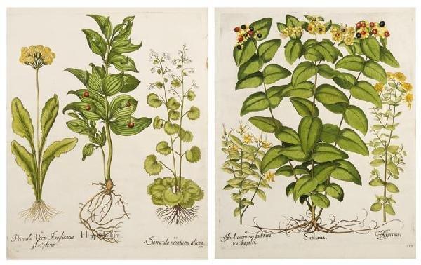 11: BESLER, BASILIUS. Siciliana and Hippolglossum. (Eic