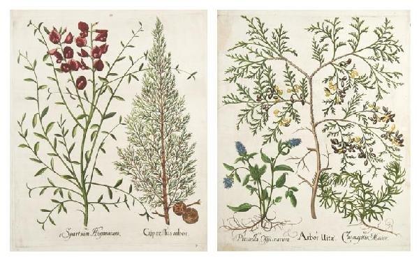 12: BESLER, BASILIUS. Arbor Uitae and Cypressus arbor.