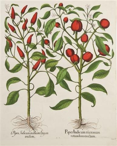 13: BESLER, BASILIUS. Piper Indicum maximum rotundum er