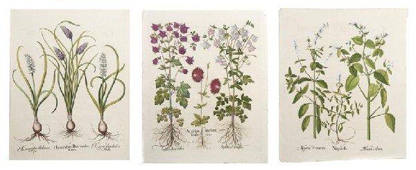 15: BESLER, BASILIUS. 4 engraved botanical prints from