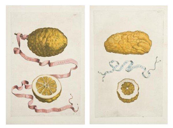 18: FERRARI, GIOVANNI BATTISTA. Limon Citratus Amalphit