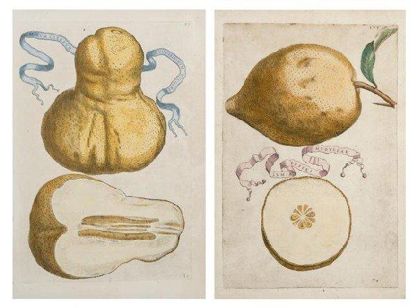 19: FERRARI, G. B. Malum citreum cucurbitinum vulgare a