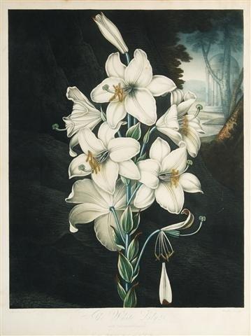 24: THORNTON, DR. ROBERT JOHN. The White Lily with Vari