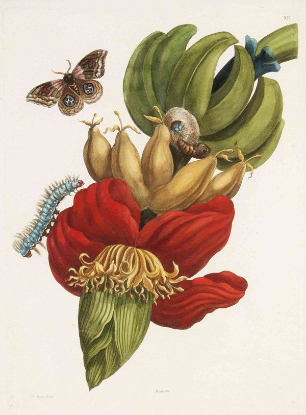 2: MERIAN, MARIA SIBYLLA. Banane, from Metamorphosis in