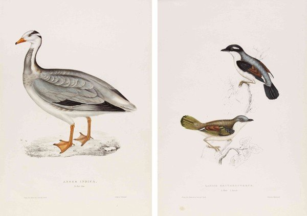 10: GOULD, JOHN. A group of 2 hand-colored lithographs.